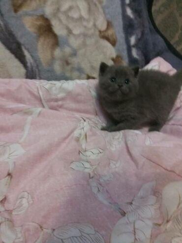 хайленд страйт в Кыргызстан: Продаю шотландских котят  скоттиш страйт  17.12.20 к лотку приучены  к