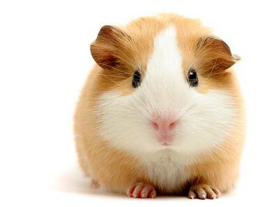 Морские свинки - Кыргызстан: Прекрасные друзья Ваших Детей! Морские свинки всего то по 100 сом!!!