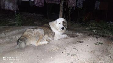 13 объявлений | ЖИВОТНЫЕ: Собаки