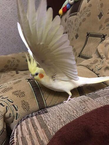 Птицы в Кыргызстан: Кореллы самки и самцы. Разных возрастов. От 3 месяцев и старше