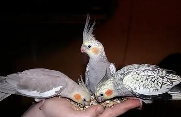 Птицы - Кок-Ой: Молодые кареллы для обучения разговору
