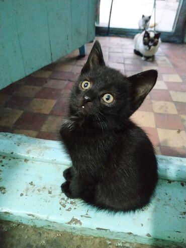 Находки, отдам даром - Беловодское: Отдаю двух котят в добрые руки. Черный мальчик. Рыжеватая девочка