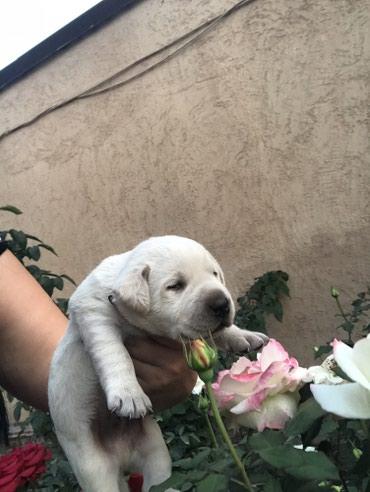 Продаются щенки только в хорошие руки в Кант