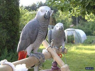 Fly iq4515 evo energy 1 - Srbija: Prekrasna afrička siva papiga U kompletu s kavezom Evo nekoliko vrlo l