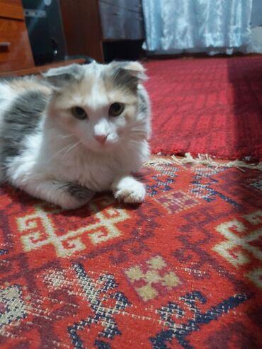 Продаю кошку, шотландская вислоухая. Возраст 10 месяцев. Добрая и