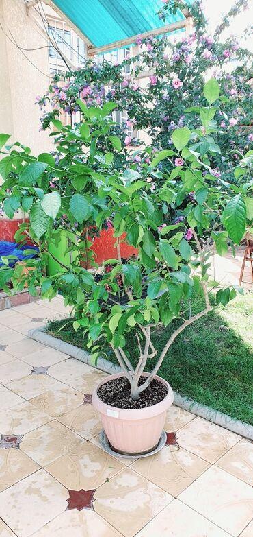 Лимоны - Кыргызстан: Лимонное дерево новый покупной грунт, ухоженное, взрослое, большое