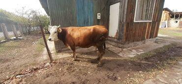 76 объявлений | ЖИВОТНЫЕ: Корова очень крупная вторым отделам не стельная данные момент молоко