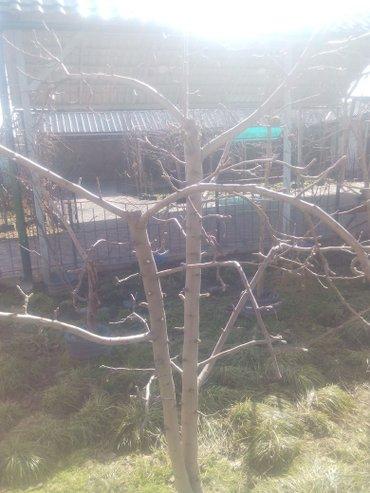 Продажа саженцов плодовых деревьев в Бишкек