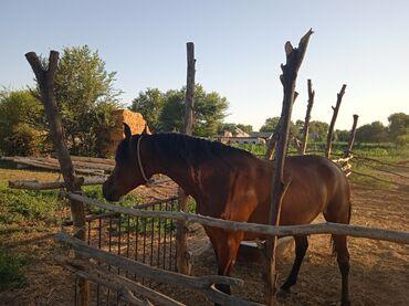 породистые коровы в бишкеке в Кыргызстан: Продаю | Кобыла (самка) | Полукровка, Английская | Для разведения