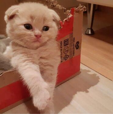 вислоухий шотландец котенок в Азербайджан: Шотландский вислоухий котенок, мальчик