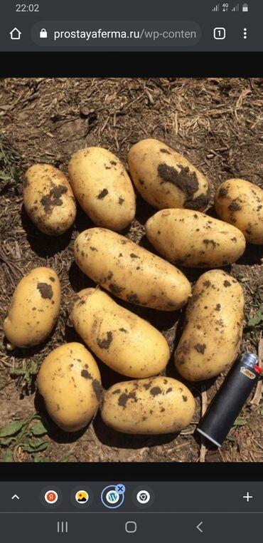 21 объявлений: Продаю картошка сорт 'Актрис'