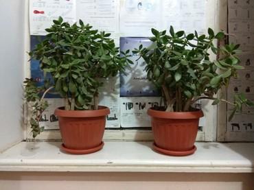 Комнатные растения в Кок-Ой: Срочно сатам!Ар бири 5000 сом,6жыл болгон бою 50см