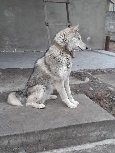 породистые щенки в дар в Кыргызстан: Продаю собак породы хаски (девочки)