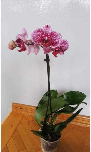 Kuća i bašta - Veliko Gradiste: Orhideja 1250 d