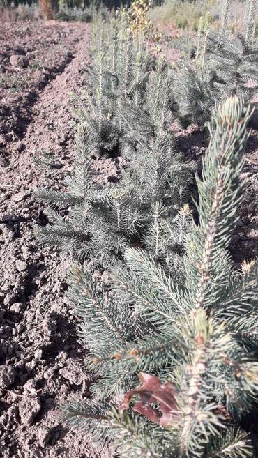 Все для дома и сада - Каинды: Продаем сеянцы голубых елей.сосны крымской.березы.есть и саженцы