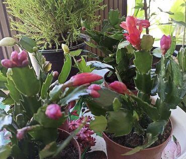 Комнатные растения - Сокулук: Декабристы сортовые в несколько цветах!