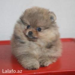 домик для маленькой собаки в Азербайджан: Любая порода собак в наличии и на заказ,отличные породные