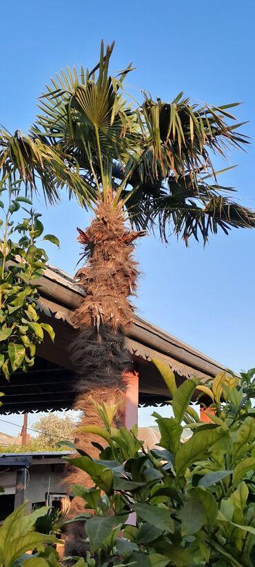 Palma satılır. Hündürlüyü 4 metr