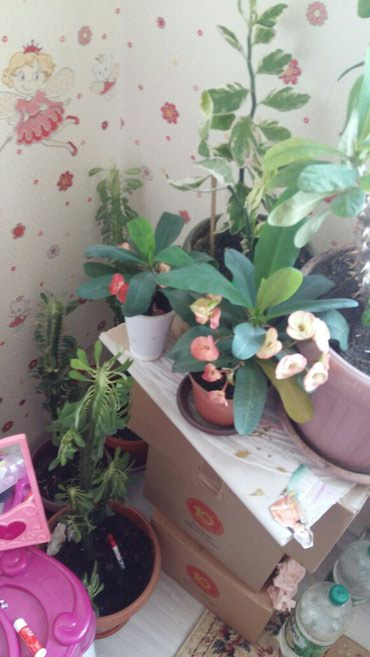 Продаю цветы молочай миля в Бишкек