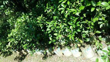 Otaq bitkiləri - Lənkəran: Limon ağaçları 2/3illikdi bar getirir 3/4eded sifariş qebul olunur