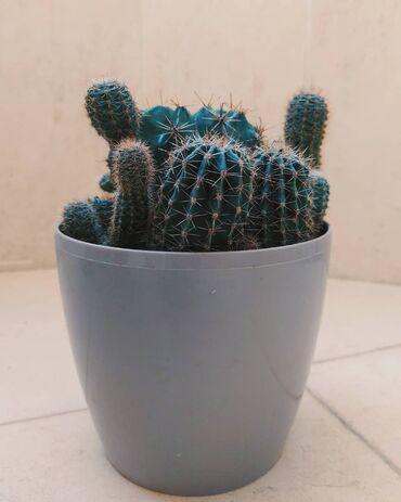 Kaktus - Azərbaycan: Qabla birlikdə satılır