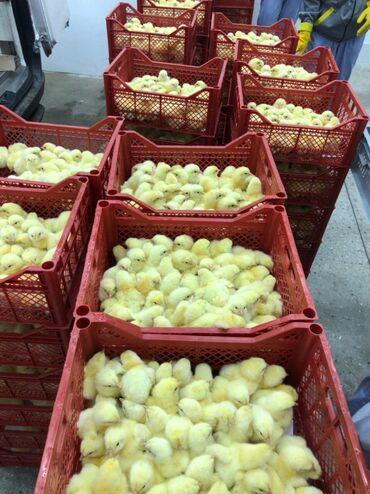 Суточные цыплята в ташкенте.45 сом.вылупятся 29го января.кому