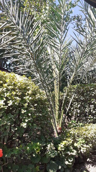 Otaq bitkiləri - Masallı: Xurma ağacı 10 ilindir hündürlüyü 2 metrdən artıqdır. Real alıcıya