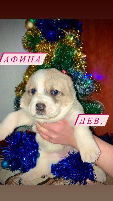 продажа щенков алабая в Кыргызстан: ГОТОВЯТСЯ К ПРОДАЖЕ !!!щенки Алабая (САО) готовятся к продаже ! 4суки