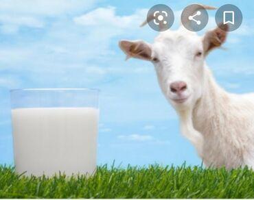С/х животные - Кок-Ой: Продаю Козье молоко Эчки суту сатылатс. Новопавловкас