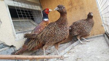 Продаю фазанов 1 мальчика и 2 в Лебединовка