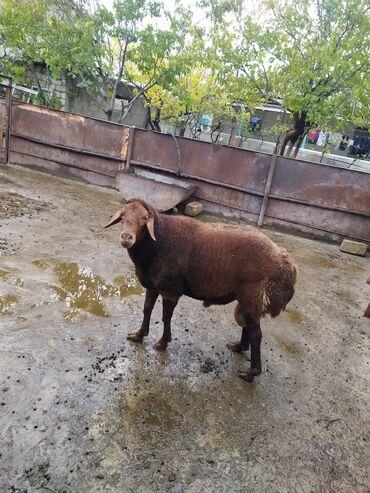 Животные - Гилязи: С/х животные