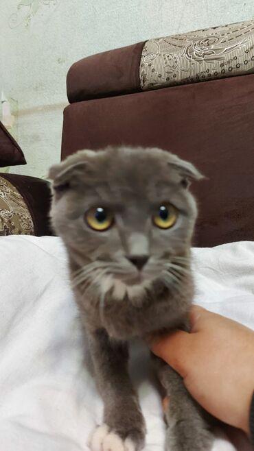 Вислоухий скотиш. Ласковый котёнок. Мальчик 4 месяца. Прошу 3000с