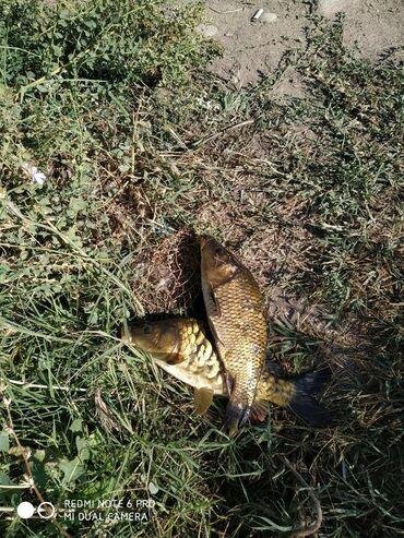Продукты питания - Ак-Джол: Живая рыба недоросток от 500г до 1кг сазан, толстолоб,амур оптом