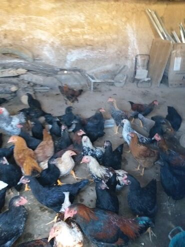 12 объявлений | ЖИВОТНЫЕ: Жайдары кашеки жожолор сатылат 400дон 600го чейин чон кичине баа болот