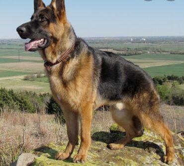 Куплю 2-3 щенка немецкой овчарки предлагайте за 0