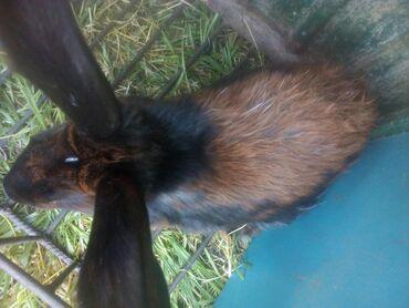 продам-крольчат в Кыргызстан: Продам или обменяю кроликов две штуки на цыплят бройлеров кара-балта