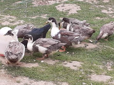 Şəkildəki ördeylərin yumutaları satılır biri 50 qəpik