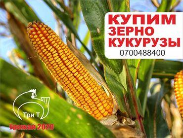 Куплю зерно кукурузы рушенную. Сорность до 5 %, влажность до 14 %