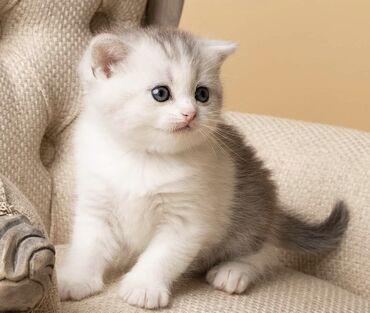 Όμορφο Scottish Fold & British ShortΓεια, έχουμε 6 όμορφα γατάκια