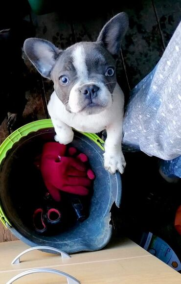 Amazing cute female french bulldog looking for a family  She loves spe