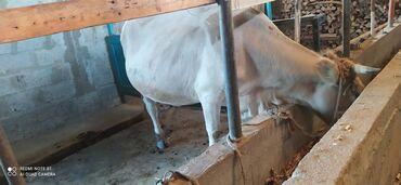 86 объявлений   ЖИВОТНЫЕ: Продаю   Корова (самка)   На забой