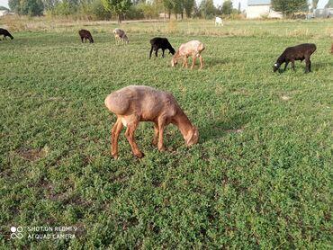 25 объявлений | ЖИВОТНЫЕ: Бараны, овцы