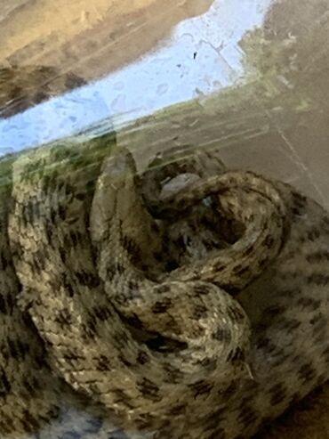 Змея. 50см