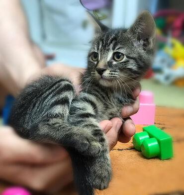 Pişiklər Azərbaycanda: Домашний котенок, девочка, 2 месяца в добрые руки, бесплатно