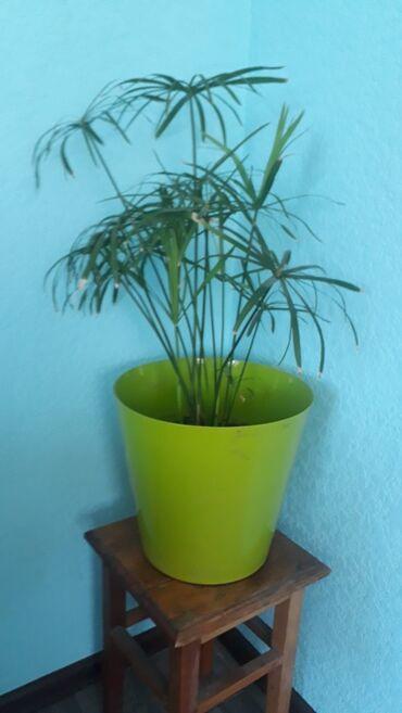Комнатные растения в Ак-Джол: Циперус папирус. Энергия циперуса напоминает фонтан: она поднимается