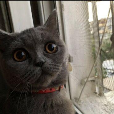 вислоухий шотландец котенок в Азербайджан: Шотланский котенок 7 месяцев девочка