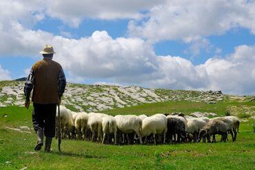 жумуш керек бала караймын in Кыргызстан | БАШКА АДИСТИКТЕР: Малчы керек. Кок-Мойнок 2 айылындагы кашарга малчы керек. Семейный