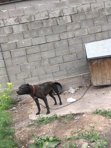 Собаки - Бишкек: Продаётся сучка Рабочего разведения !!!Вопросы в личку чача пача не пи