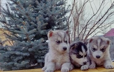 Срочно продаю отдам в хорошие руки щенят сибирские хаски чистокровный