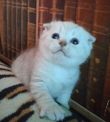 Животные - Бишкек: Готов к бронированию шотландский мальчик(фолд)в окрасе серебристая